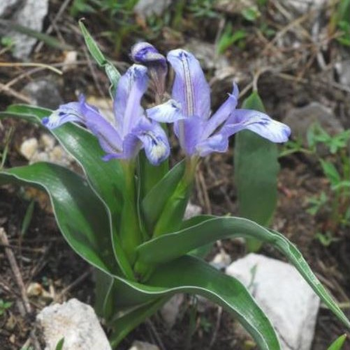 Iris willmottiana Picture Oron Peri