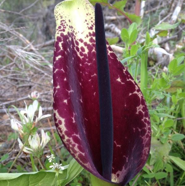 Arum dioscorides Picture www.viranatura.com