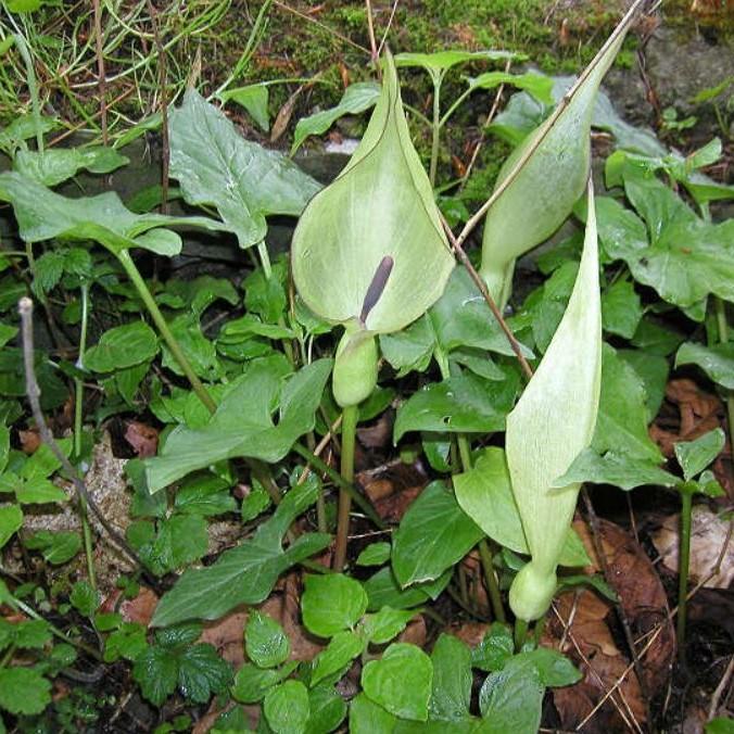 Arum maculatum Picture Bob Rutemoeller