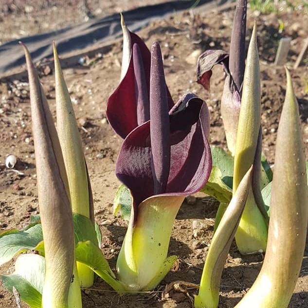 Arum pictum Picture Oron Peri