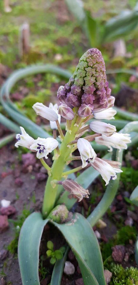 Bellevalia mauritanica Picture Oron Peri
