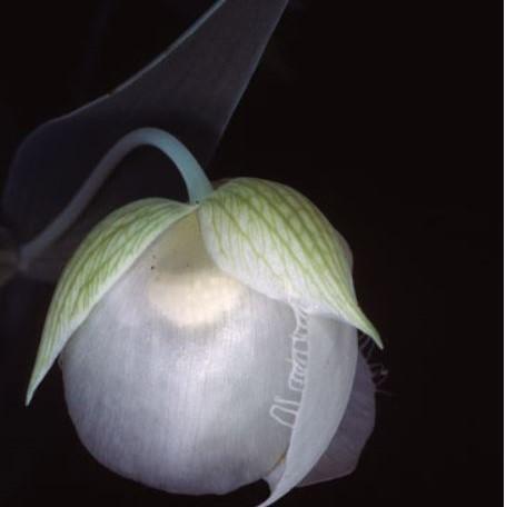 Calochortus albus Picture Ron Parsons