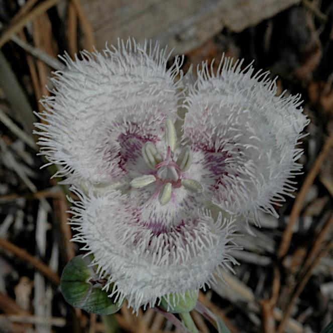 Calochortus coeruleus Picture Mary Gerritsen