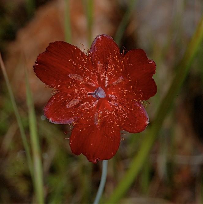 Calochortus fuscus picture Mary Gerritsen