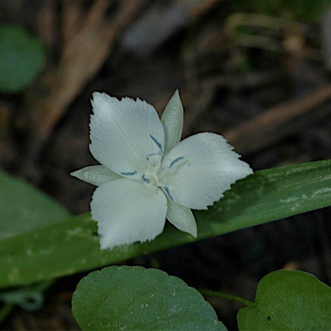 Calochortus minimus Picture Mary Gerritsen