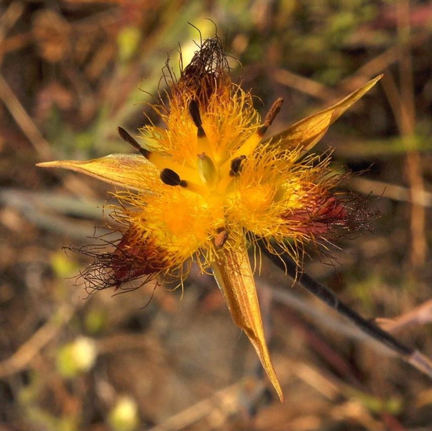 Calochortus obispoensis Picture Ron Parsons