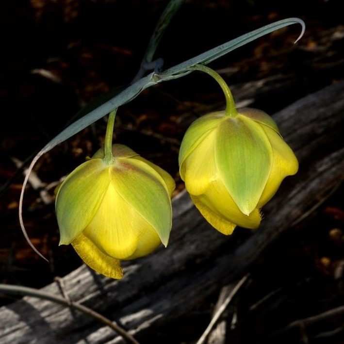 Calochortus raichei Picture Ron Parsons