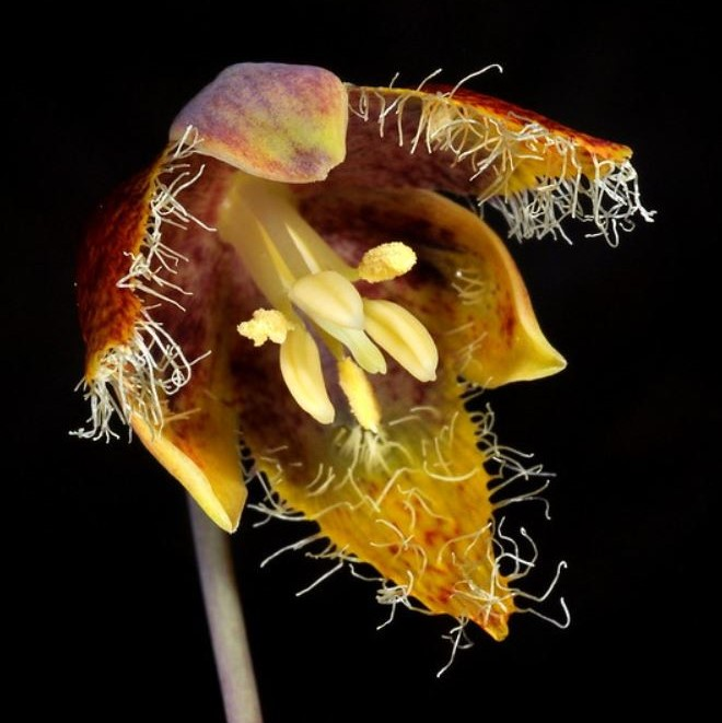Calochortus spatulatus Picture Ron Parsons