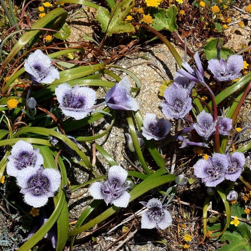 Calochortus tolmiei Picture Ron Parsons