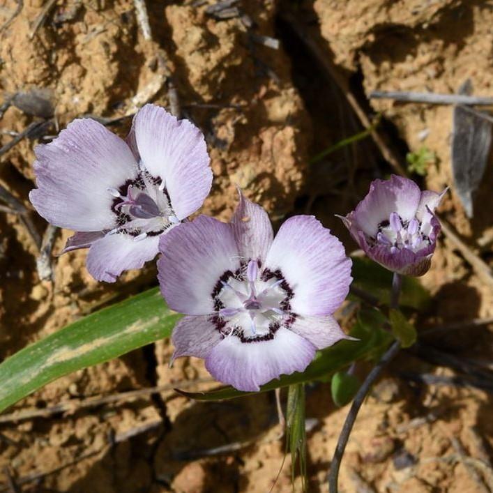Calochortus umbellatus Picture Ron Parsons