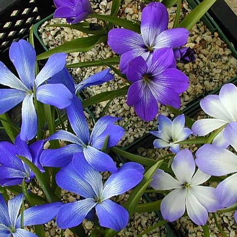 Tecophilaea cyanocrocus Picture John Lonsdale, Edgewood Gardens