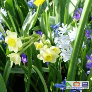voorjaarsmix Narcissus 'Minnow', Puschkinia scilloides en Scilla siberica 'Spring Beauty'